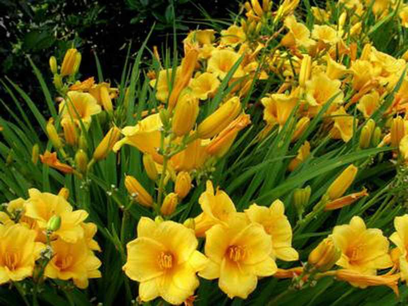 Garden design with yellow your local gardener garden design ideas local gardener ontario gardener mightylinksfo