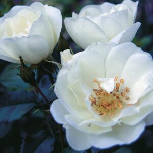 white pavement rose