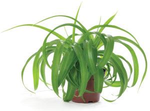 Chlorophytum comosum 'Bonnie Green'