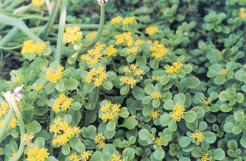 Stonecrop savvy your local gardener perennials plants mightylinksfo