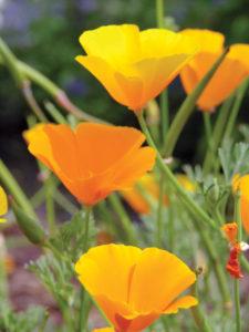 The California poppy is golden or orange.