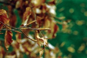 A European beech (Fagus sylvatica) bud after winter during spring