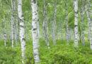 Birch trees in the urban landscape