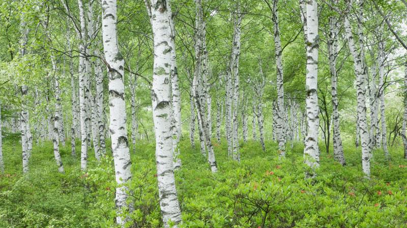 Bildresultat för birch