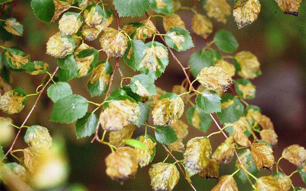 Birch leafminer damage