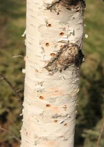 bronze birch borer damage on tree