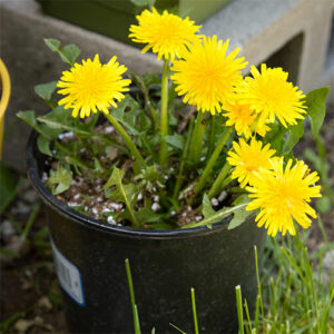 potted dandelions