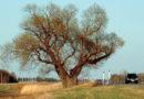 Manitoba's Halfway Tree