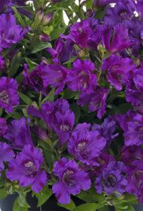 purple-alstroemeria