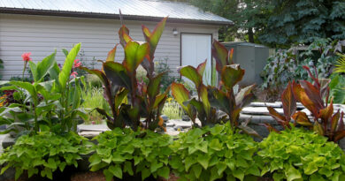 Canna infection