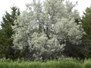 Drought Tolerant Decidious Trees